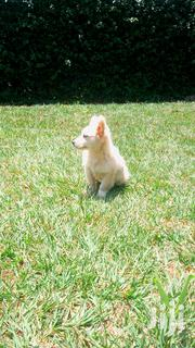 Japanese Spitz Pupp Ready for a New Home | Dogs & Puppies for sale in Kiambu, Kabete