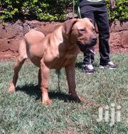 Boerboel On Sale | Dogs & Puppies for sale in Kiambu, Kabete