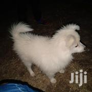 4 Months Old German Spitz (Chiwawa) | Dogs & Puppies for sale in Kiambu, Gatuanyaga