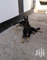 Working Line Gsd | Dogs & Puppies for sale in Mombasa, Bamburi