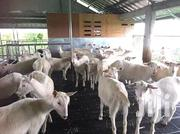 Saanen Dairy Goat's The Queen Of Milk | Other Animals for sale in Bungoma, Cheptais