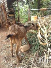 Dairy Goats | Other Animals for sale in Kiambu, Ndenderu