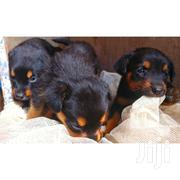 Young Male Purebred Rottweiler   Dogs & Puppies for sale in Kajiado, Ngong