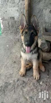 German Shepherd Puppies Available Now 4months. | Dogs & Puppies for sale in Kajiado, Ongata Rongai