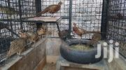 Ringneck Pheasants | Birds for sale in Mombasa, Bamburi