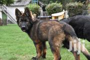 Sable Female Gsd | Dogs & Puppies for sale in Nakuru, Gilgil