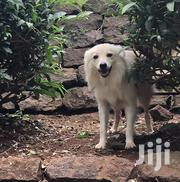Japanese Spitz | Dogs & Puppies for sale in Nairobi, Ngara