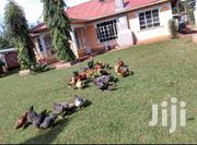 Mature Hen For Sale | Livestock & Poultry for sale in Migori, Suna Central