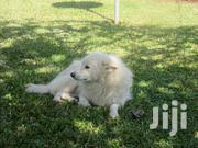 Japanese Spitz For Sale | Dogs & Puppies for sale in Mombasa, Likoni