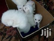 Baby Female Mixed Breed Maltese | Dogs & Puppies for sale in Uasin Gishu, Kapsoya