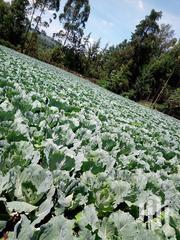Gloria F1 Cabbages On Sale | Feeds, Supplements & Seeds for sale in Narok, Melelo