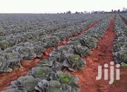 Cabbages Glorria F1 | Feeds, Supplements & Seeds for sale in Narok, Melelo