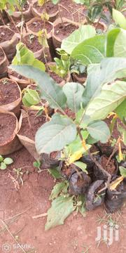 Apple Seedlings | Feeds, Supplements & Seeds for sale in Nairobi, Mwiki
