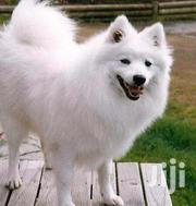 Baby Female Purebred Japanese Spitz | Dogs & Puppies for sale in Nairobi, Karen