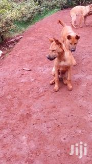Baby Male Mixed Breed German Shepherd Dog   Dogs & Puppies for sale in Nairobi, Karura