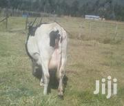 Dairy Cows For Sale | Livestock & Poultry for sale in Nyandarua, Kipipiri
