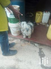 Adult Female Purebred Maltese Shih Tzu | Dogs & Puppies for sale in Nairobi, Nairobi Central