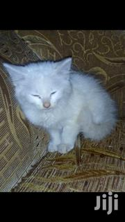 Young Male Mixed Breed Turkish Angora | Cats & Kittens for sale in Kiambu, Ndenderu
