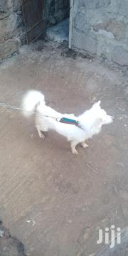 Young Female Purebred Japanese Spitz | Dogs & Puppies for sale in Kiambu, Murera