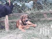Baby Male Mixed Breed Boerboel | Dogs & Puppies for sale in Nakuru, Gilgil