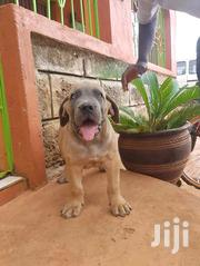 Baby Female Purebred Boerboel | Dogs & Puppies for sale in Kajiado, Ngong