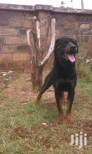 ROTTWEILER PUPPIES FOR SALE | Dogs & Puppies for sale in Uasin Gishu, Simat/Kapseret