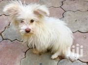 Baby Female Purebred Maltese | Dogs & Puppies for sale in Nairobi, Embakasi