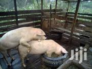 Pigs Boars | Livestock & Poultry for sale in Nyeri, Dedan Kimanthi