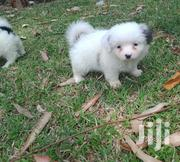 Baby Male Purebred Pomeranian | Dogs & Puppies for sale in Nairobi, Nairobi Central