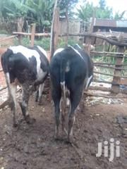 Freshian Cow | Other Animals for sale in Nyeri, Mukurwe-Ini Central