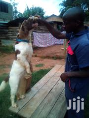 Dog Training&Breeding | Pet Services for sale in Trans-Nzoia, Bidii