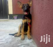 Young Female Purebred German Shepherd Dog | Dogs & Puppies for sale in Mombasa, Likoni
