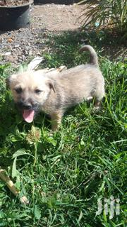 Baby Female Mixed Breed | Dogs & Puppies for sale in Nairobi, Nairobi Central