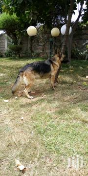 Young Female Purebred German Shepherd Dog | Dogs & Puppies for sale in Nairobi, Embakasi