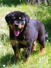 Baby Female Purebred Rottweiler | Dogs & Puppies for sale in Baringo, Bartabwa