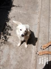 Young Male Purebred Pomeranian | Dogs & Puppies for sale in Mombasa, Bamburi