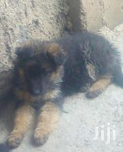 Young Male Purebred German Shepherd Dog | Dogs & Puppies for sale in Kiambu, Kikuyu