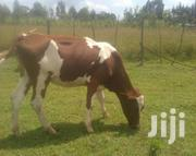 A Good Arshire Heifer Ready To Be Served | Livestock & Poultry for sale in Uasin Gishu, Cheptiret/Kipchamo