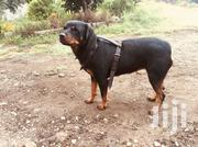 Adult Female Purebred Rottweiler | Dogs & Puppies for sale in Nakuru, Nakuru East