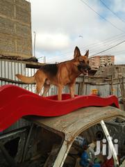 Adult Male Purebred German Shepherd Dog | Dogs & Puppies for sale in Nairobi, Zimmerman