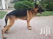 Adult Male Purebred German Shepherd Dog | Dogs & Puppies for sale in Kajiado, Kitengela