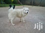 Young Male Purebred Japanese Spitz | Dogs & Puppies for sale in Kajiado, Kitengela