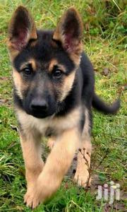 Young Female Purebred German Shepherd Dog | Dogs & Puppies for sale in Trans-Nzoia, Waitaluk