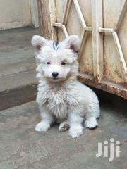 Young Male Purebred Maltese | Dogs & Puppies for sale in Nairobi, Harambee