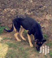 Young Female Purebred German Shepherd Dog | Dogs & Puppies for sale in Mombasa, Port Reitz