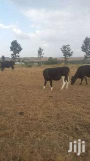 Freshian Dairy Cow-heifer | Livestock & Poultry for sale in Laikipia, Ngobit