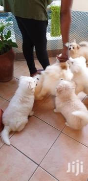 Young Male Purebred Japanese Spitz | Dogs & Puppies for sale in Mombasa, Bamburi