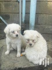 Baby Male Purebred Maltese | Dogs & Puppies for sale in Nakuru, Gilgil