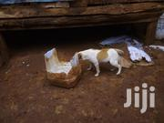 Young Male Purebred Jack Russell Terrier | Dogs & Puppies for sale in Nairobi, Nairobi Central
