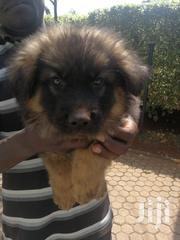 Baby Male Purebred German Shepherd Dog | Dogs & Puppies for sale in Nairobi, Karen